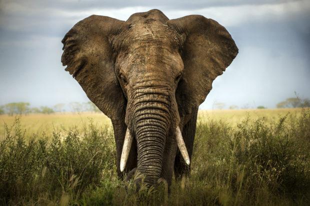 elefante África
