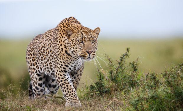 Leopardo África