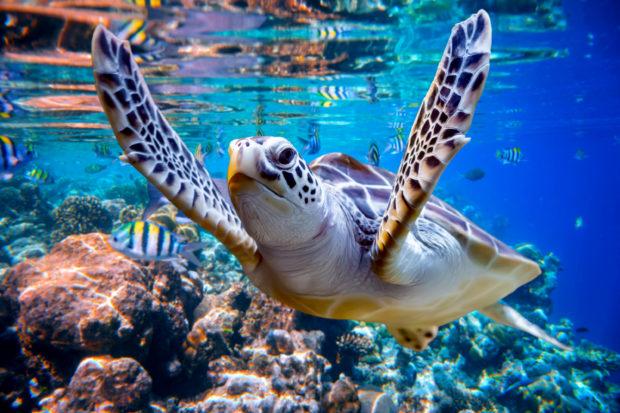 tortugal Maldivas