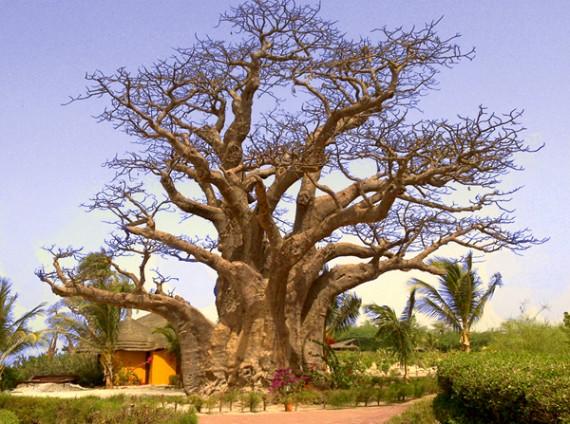 baobab3