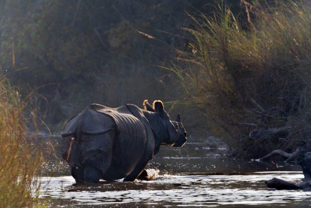 que ver en Nepal: rinoceronte en el Parque Nacional de Chitwan