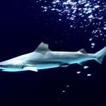 Los primeros tiburones híbridos descubiertos en el mundo