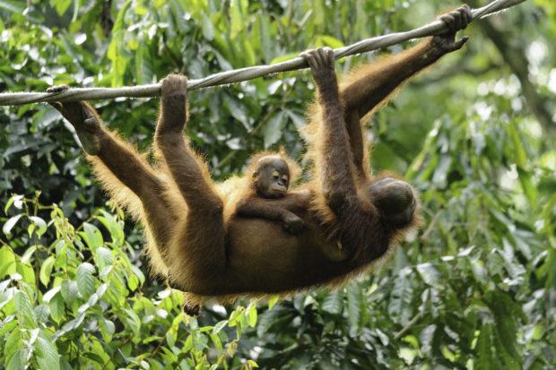 Centro de rehabilitación orangutanes Sepilok