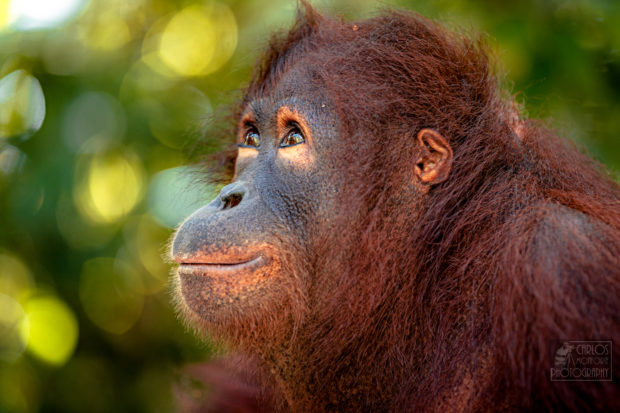 orangutan en viaje a Borneo