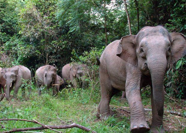 Viaje a Borneo: elefante pigmeo
